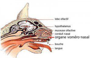 Anatomie Il est situé sous la surface intérieure du nez, et relié à la bouche par deux petits conduits qui arrivent juste derrière les incisives. Dans une certaine mesure, il est une sorte de pont entre l'odorat et le goût. Mais la réalité, c'est qu'après des millions d'années d'évolution, il est devenu, chez le chat et les félins tout au moins, une sorte de détecteur à phéromones ultra-puissant. Les reptiles en ont un et l'utilisent aussi dans le cadre de leurs sorties coquines.