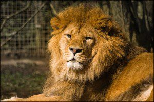 Lion ou Chaton