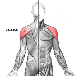 Muscles épaule corps masculin